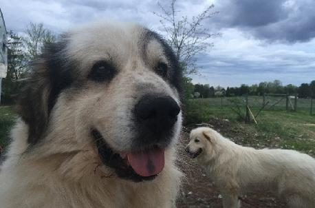 Pyrenees Dog Rescue Nc