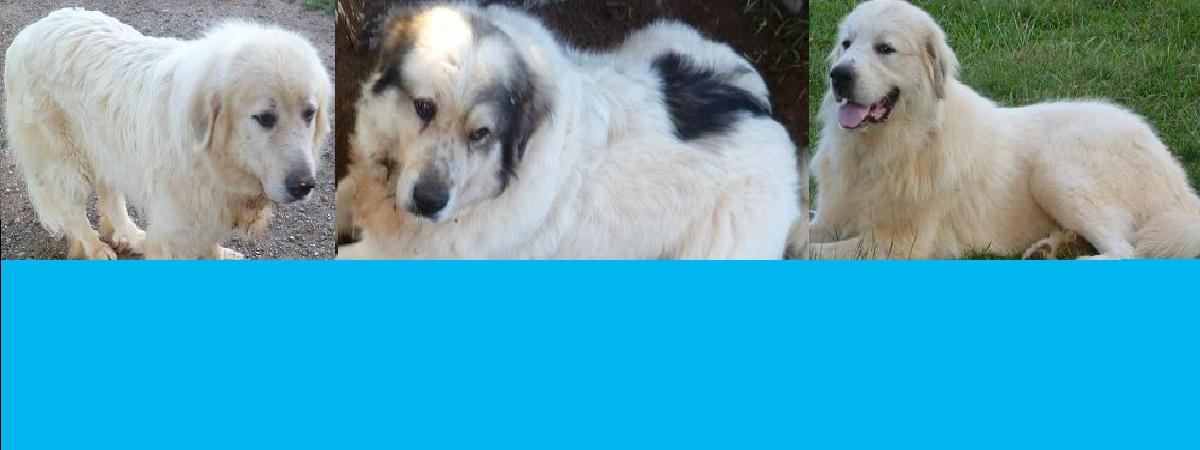 Adopt a Great Pyrenees