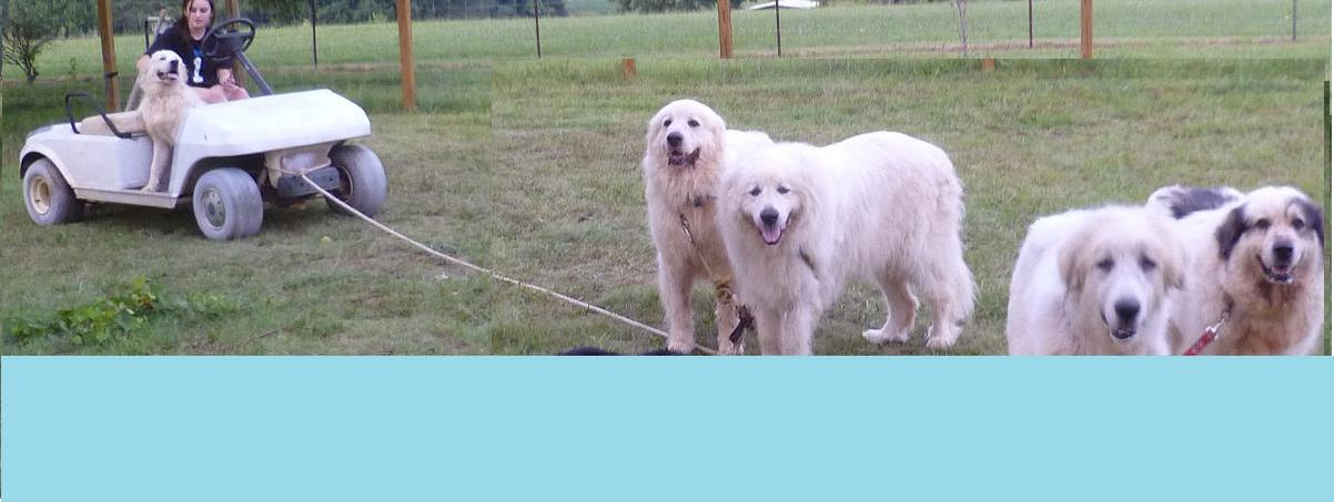 About Great Pyrenees